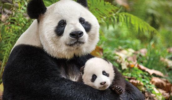 Mom panda cuddles her daughter
