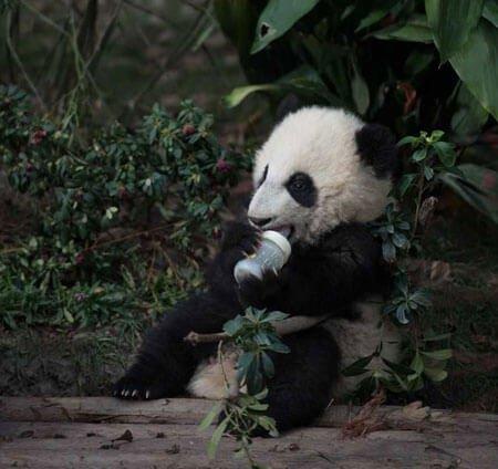 Baby panda loves his bottle
