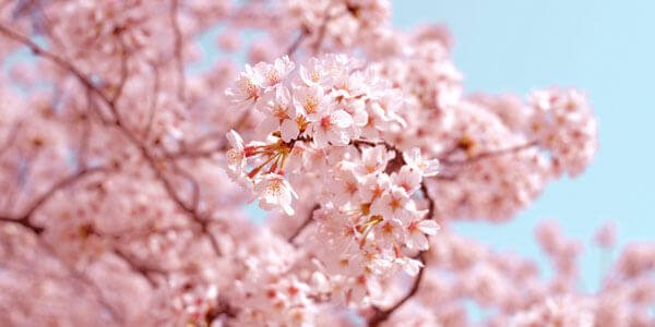 All About Cherry Blossoms Spring Cherry Tree Flower Japanese